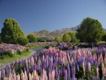 Entre noviembre y diciembre estas flores llamadas altramuces cubren algunas zonas de Nueva Zelanda dejando unas estampas de ensueño